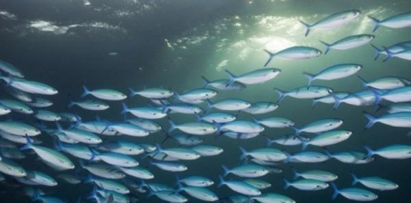 Migration de poissons - crédits : Reinhard Dirscherl - source : sciencesetavenir.fr
