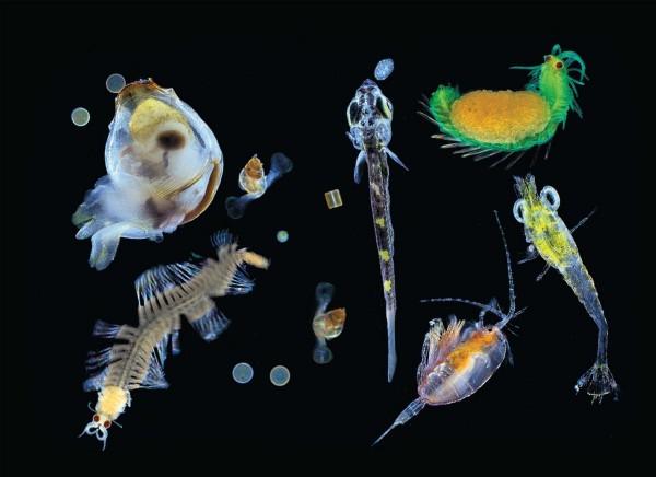 Diversité planctonique - crédits : Image: Christian Sardet/CNRS/Tara Expeditions - source : www.zmescience.com