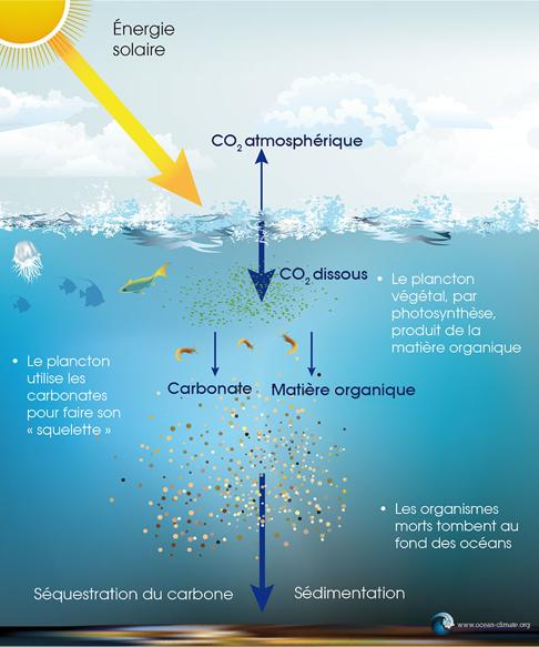 La pompe à carbone biologique - crédits : ocean-climate.org