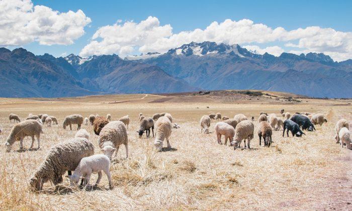 sheep-931707_960_720